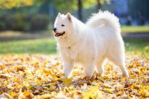 Happy samoyed dog in autumn park